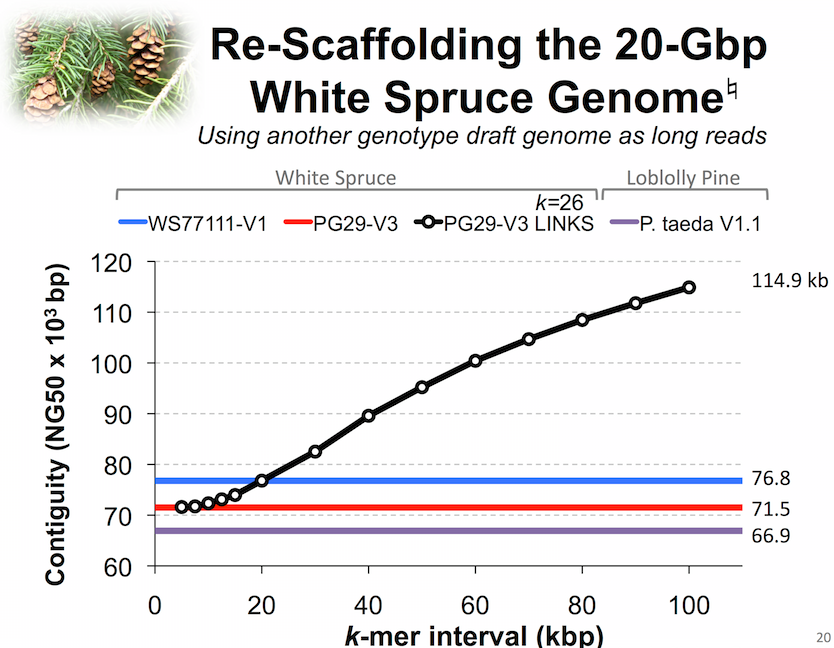 Re-scaffolding the white spruce genome using LINKS utilizing information from another white spruce genotype assembly
