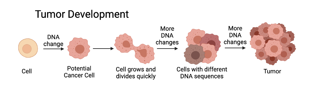 Development of a tumour from a single cell.